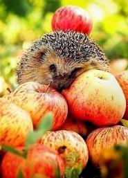 ёж с яблоками