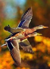 Осенние утки