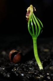 росток из семечка