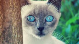 сиамские глаза