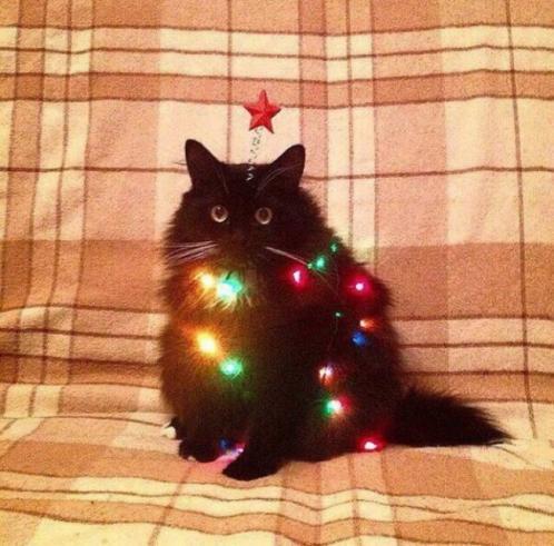 новокотний кот