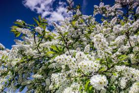 Черёмуха цветет