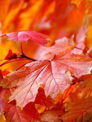 Лист багряный