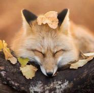 лис спит